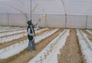 MINAGRI acompaña producción de tomate con vigilancia sanitaria en Tacna - Senasa