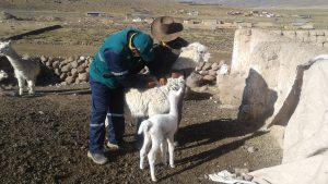 MINAGRI aplica antiparasitarios, vitaminas y antibióticos a alpacas ante heladas