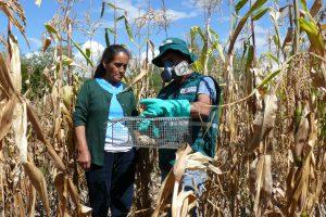 MINAGRI coordina control de roedores con agricultores de Ayacucho - Senasa