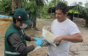 Senasa-ucayali-influenza-aviar-2