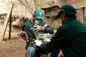 senasa-ayacucho-vraem-influenza-aviar