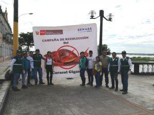 senasa-loreto-iquitos-caracol-gigante-agricano