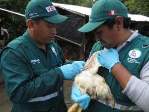 senasa-madre-de-dios-influenza-aviar