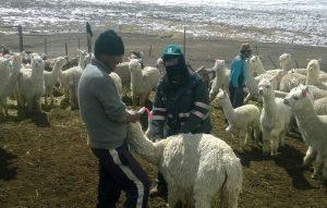 senasa-tacna-alpacas-y-llamas
