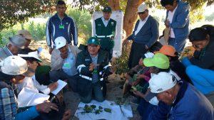 Agricultores de Ocucaje aplican estrategias para el control de plagas del pallar