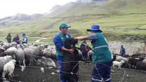 Atención sanitaria del Senasa en comunidades altoandinas declaradas en emergencia