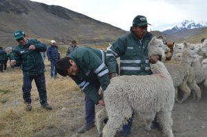 MINAGRI - Más de 10 mil animales atendidos ante bajas temperaturas en Cusco