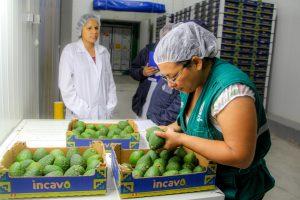 MINAGRI certifica más de 4500 toneladas de palta Hass para exportación