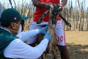 MINAGRI colectará 264 muestras serológicas en Lambayeque para descarte de Brucelosis caprina