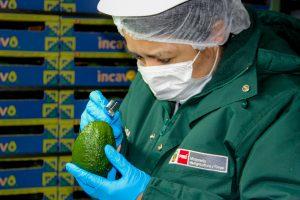 Senasa - Inicia nueva certificación de palta Hass basada en perfiles de riesgo