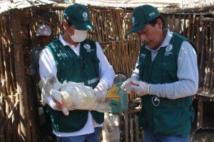 Senasa evalúa condición sanitaria de aves para descarte de influenza aviar