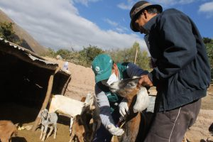 Senasa evalúa ganado de 107 predios en Huancavelica para descartar Brucelosis caprina