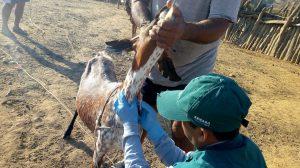 Senasa resguarda estado sanitario de ganado caprino en Tumbes