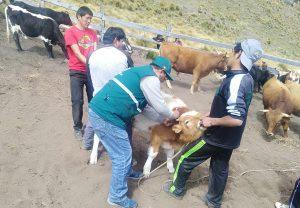 Senasa supera vacunación de 26 mil bovinos para prevenir Carbunco sintomático en Apurímac