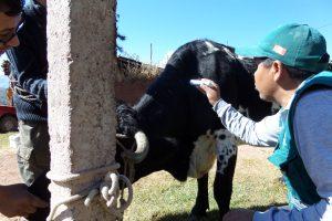 Senasa supera vacunación de 5 mil bovinos para prevenir brotes de rabia en Cusco