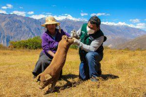 Ancash: Más de 17 mil cerdos fueron vacunados contra la Peste Porcina
