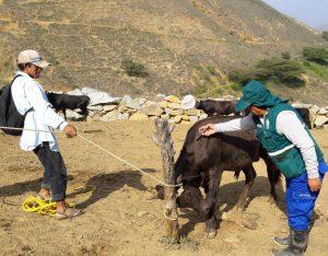 Acciones de prevención contra el Ántrax beneficia a más de 4700 ganaderos de La Libertad