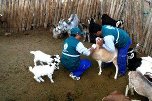 Senasa inicia estudio serológico contra la brucelosis caprina en el Vraem
