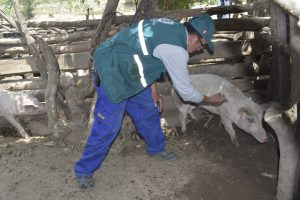 Más de cinco mil familias de La Libertad beneficiadas con vacunación contra la peste porcina