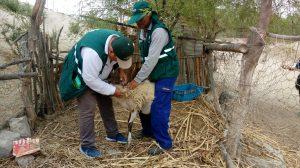Senasa - Campaña sanitaria gratuita en Piura alcanza a más de 700 animales