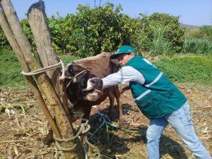 Senasa supera vacunación de mil quinientos bovinos en Tumbes contra Carbunco sintomático