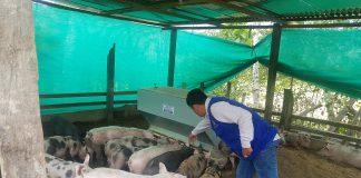 MINAGRI proyecta vacunación de más de cuarenta mil cerdos en Amazonas